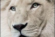 lvi a tygři