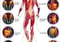musculatura umana
