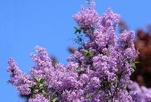 Wiosna bzy, niezapominajki .... / Radość z wiosny