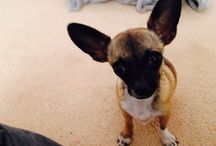 My gorgeous teacup chihuahua love her to death / Dog