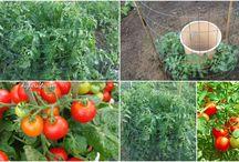 Dyrkning af grøntsager