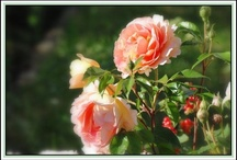 anglický růže