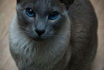 Stunning Siamese Cats / Siamese cats are beautiful.