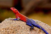 Lizard Pics