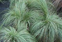 Flera Carex comans ´Frosted curls´