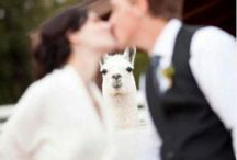 Llamas / Funny,sad and spastic