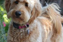 Goldendoodle,labradoodle i Pudle