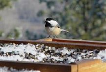 Birds of a Feather / Birds here in Montana, great Montana birding locations as well as birds from around the world.  Here at Blue Mountain Bed and Breakfast, we have a variety of birds that come to our feeders and enjoy our twenty acres of registered wildlife habitat.