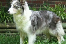 Border  Collie / Blue Merle