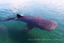 whale sharks / My photos of my many encounters with whale sharks.