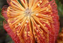 Flowers - Protea