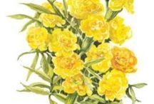 Botanical Interests - Marigold Seeds -