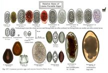 Parasitology - Eggs
