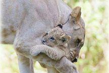 aslanlar