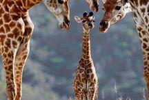Giraffes / by Nicola Maltby