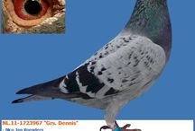 New arrivals!!! / Here you find the last added pigeons to our website: http://www.europigeons.nl