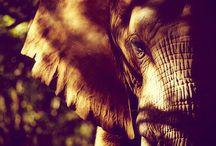 Escucha el sonido de los elefantes  / amarlos
