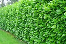 Hedging Plants / The range of hedging plants available for various sized hedges from low box hedging to tall boundary hedging.