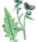 Hvězdnicovité / Čeleď rostlin