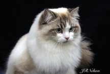 Ragamuffins / The perfect cat for dog lovers! / by Dyea Tumlin