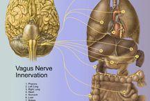 Vagus Nerve Info