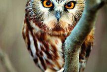 """Owl / ,___,  (6v6)  (_^(_\    """" """"  \\ / by Maiandra"""