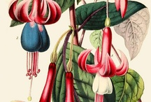 Botanic illustrations