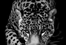 тигры,львы,пантеры и тд