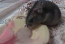 Julia / Hamsteri