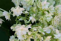 Hydrangea / by Chicago Botanic Garden