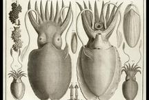Cephalopods.  / by Felix Fiek