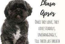 Lhasa Apso / Cuties