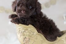 Teacup puppys toy poddle