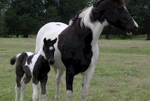 The Paint Horse / Individual Markings identify these majestic equine creatures