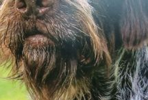 German Wirehaired Pointers ♡♡♡