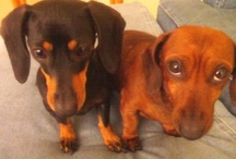 For the love of dogs... especially Doxies! / Dedicated to Oliver & Lola..and now Lucy: My 4 legged kids, with their unconditional love & undying curiousity!! / by Tootie Torres