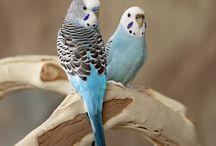 muhabbet birds
