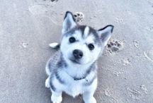 I love Husky
