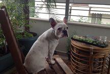 Oia / French bulldog