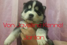 Jual Anak Anjing Siberian Husky