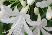 fehér karàcsonyi kaktusz