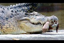 11 Attaques de Crocodiles sur Humains Filmées en Vidéo 2016│Real crocodile attack on human 2016