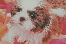 Shitzu puppies / Cute puppy