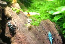 Aquarium:- Shrimpies, Pics / Lots of different shrimp