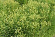 Bruniaceae