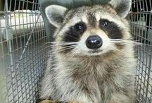 Funny raccoon's :) / by Allie Bieber