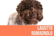Lagotto Romagnolo / The Lagotto Romagnolo is an ancient breed, with extremely similar curly coated water dogs being seen portrayed in hunting and fishing scenes in the Etruscan necropolis of Spina and described by Linneus, the great Swedish naturalist of the 18th century as being widespread in the Mediterranean Sea area, describing a dog that corresponded well with the appearance of today's Lagotto Romagnolo.
