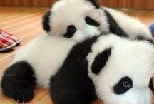 Pandas / My favourite animal has to be a panda there so cute