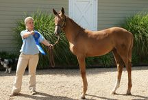 Hyperion Stud & Farm Events / Breed Inspections, Horse Shows and more
