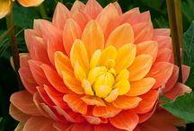 Dahlias /Dalias / Big blowsy dahias. One of my absolute favourite flowers. Always wanted to have some. / by Carla Martinho Burchell